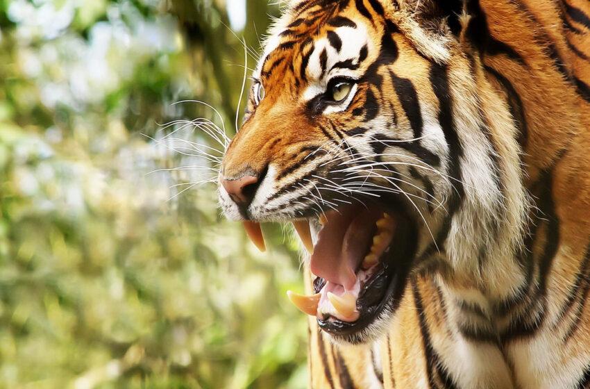 Cuidadora de un zoológico de 21 años falleció en Chile por el ataque de un tigre